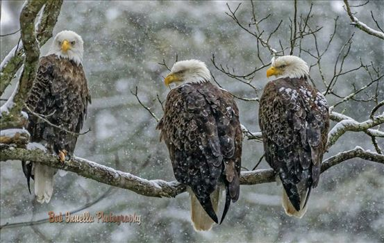 3 Eagles In Heavy Snowstorm by Buckmaster
