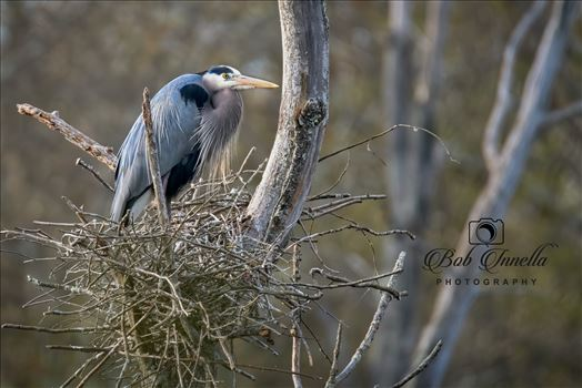 Great Blue Heron On Nest by Buckmaster