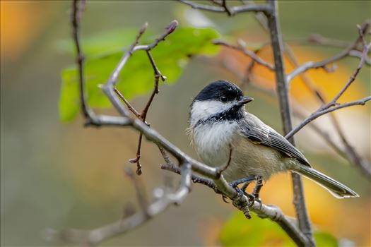 Black- Capped Chickadee - Photographed in October 2014 in Northern, Maine