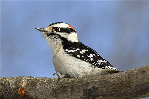 Male Downy Woodpecker2 by Buckmaster