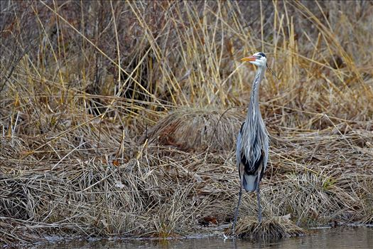 Great Blue Heron by Buckmaster