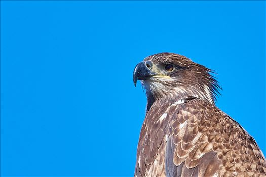 Juvenile Eagle Portrait by Buckmaster