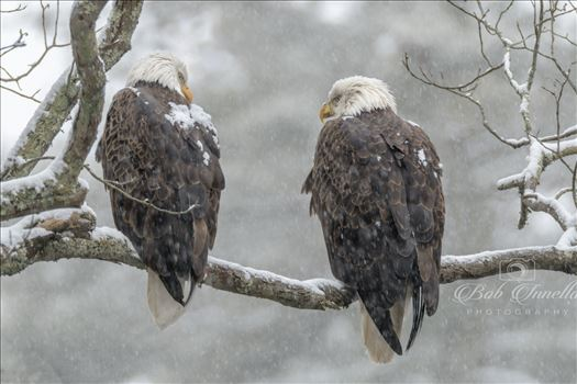 2 Bald Eagles In A Snowstorm by Buckmaster