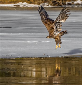 Juvenile Eagle on Ice by Buckmaster
