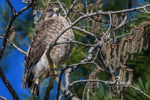 Hawk by Buckmaster