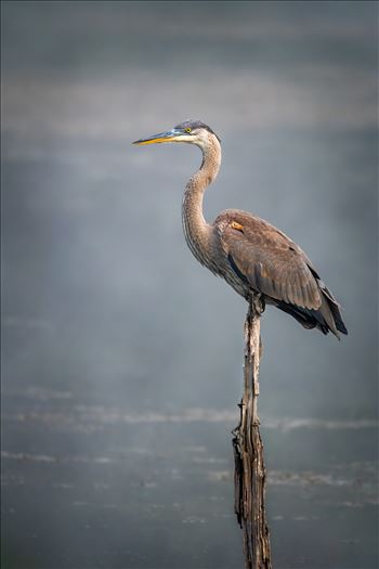 Great Blue Heron In Fog by Buckmaster