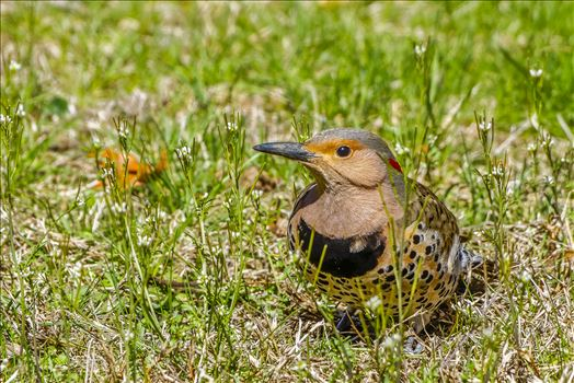 Grounded Northern Flicker by Buckmaster