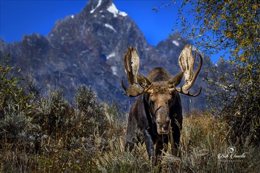 Large Bull Shiras Moose, Taken With Grand Teton in Background, Wyoming 2018 by Buckmaster