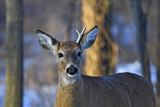 Small Whitetail Buck by Buckmaster