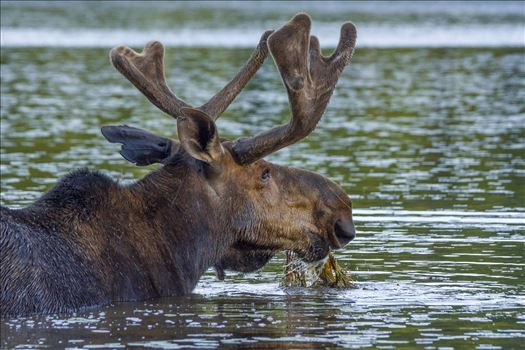 Bull Moose Eating His Salad - Bull getting his daily 45 lbs. of Salad