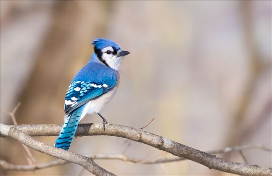 Blue Jay by Buckmaster