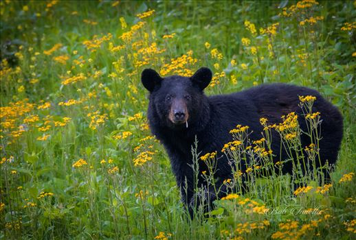 Black Bear Smoking In Yellow Flowers by Buckmaster