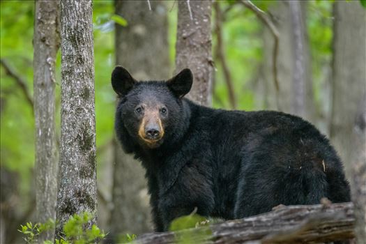 Black Bear In Shenandoah Mountains by Buckmaster