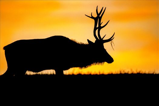 Silhouette Bull Elk At Sunrise - Silhouette Bull Elk At An Amazing Sunrise