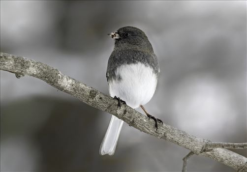 Pennsylvanian Dark Eyed Junco by Buckmaster