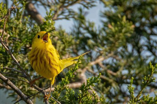 Yellow Warbler_Singing by Buckmaster