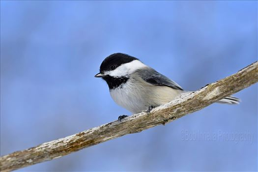 Black Capped Chickadee2 by Buckmaster