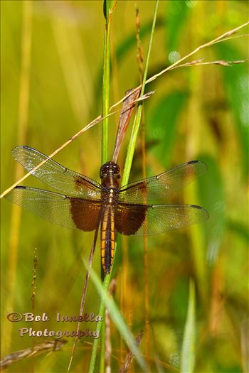 Dragon Fly by Buckmaster