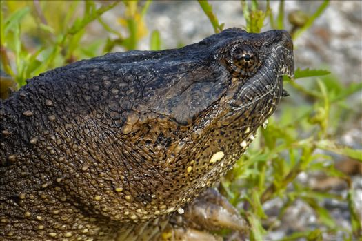 Snapping Turtle by Buckmaster