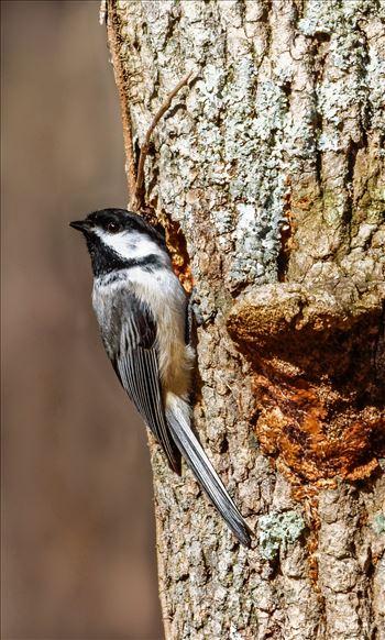 Chickadee - Black-Capped Chickadee checking out a Woodpecker Hole