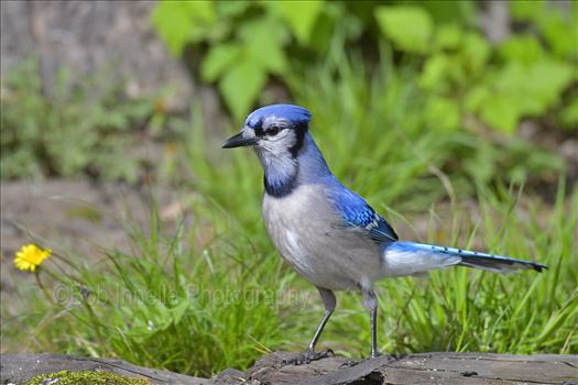 North American Blue Jay by Buckmaster