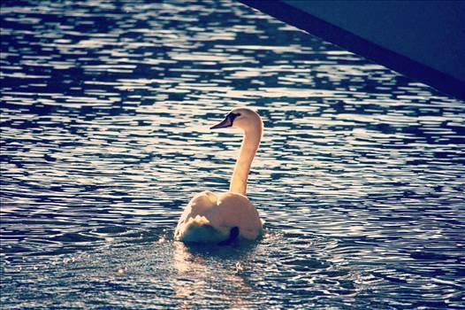 White Swan by NFIDDI