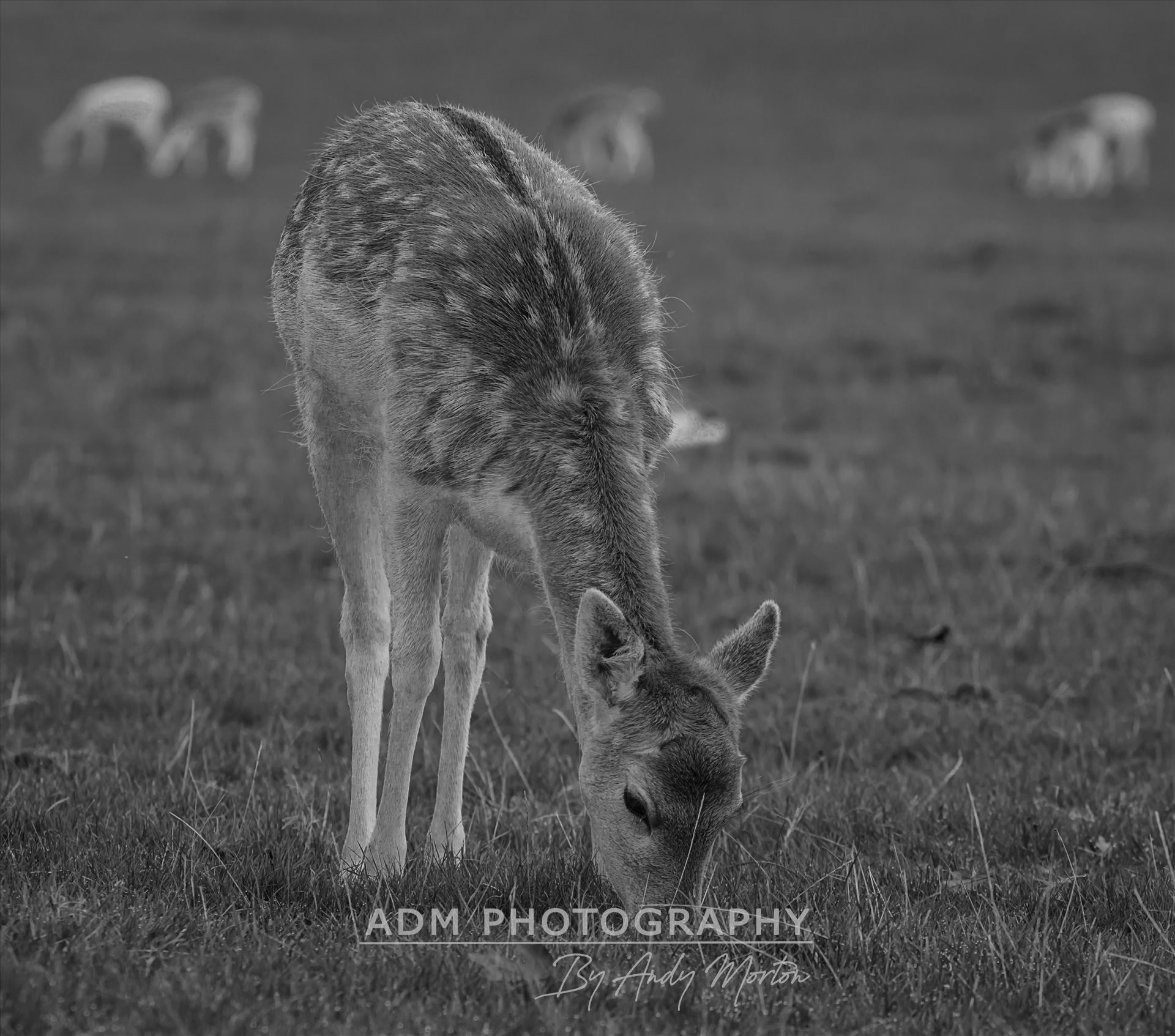 Fallow Deer - Dama Dama (Black & White) The fallow deer (Dama Dama) is a ruminant mammal belonging to the family Cervidae. by Andy Morton Photography