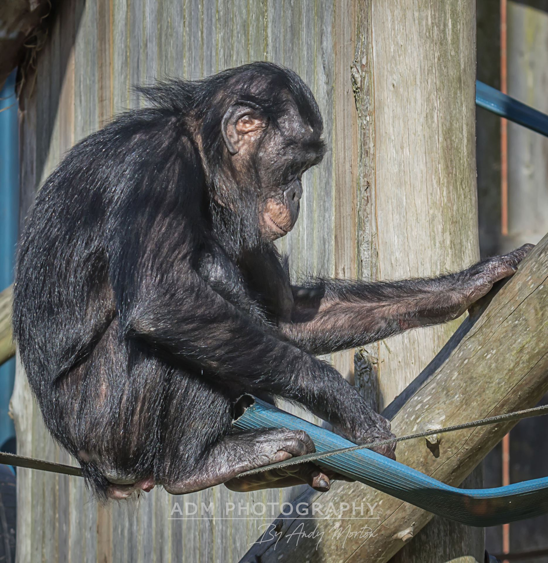 Young Bonobo Chimpanzee A Young Baby Bonobo Chimpanzee by Andy Morton Photography