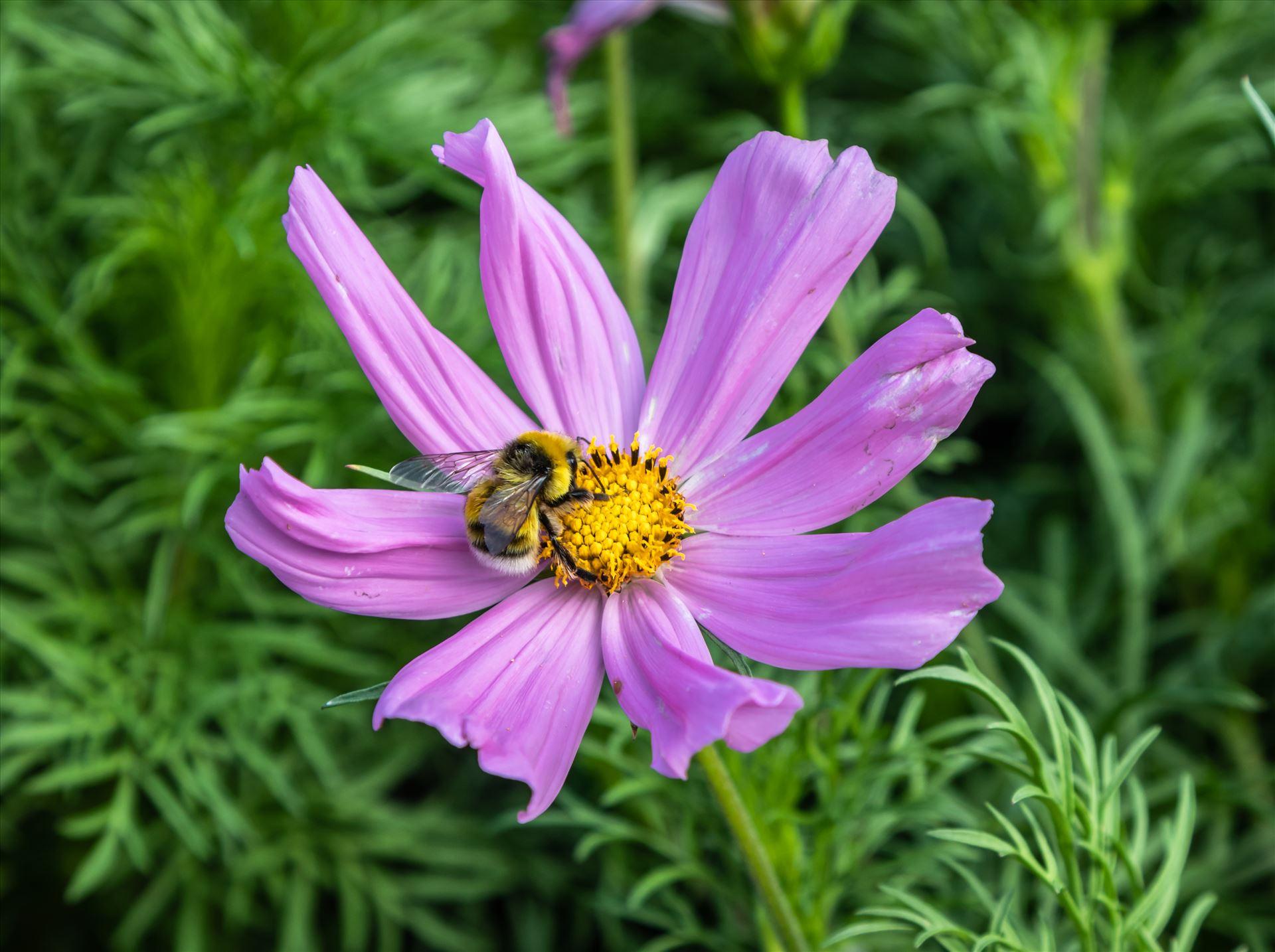 Purple Mexican Aster Pink Garden Cosmos - Cosmos Bipinnatus by Andy Morton Photography