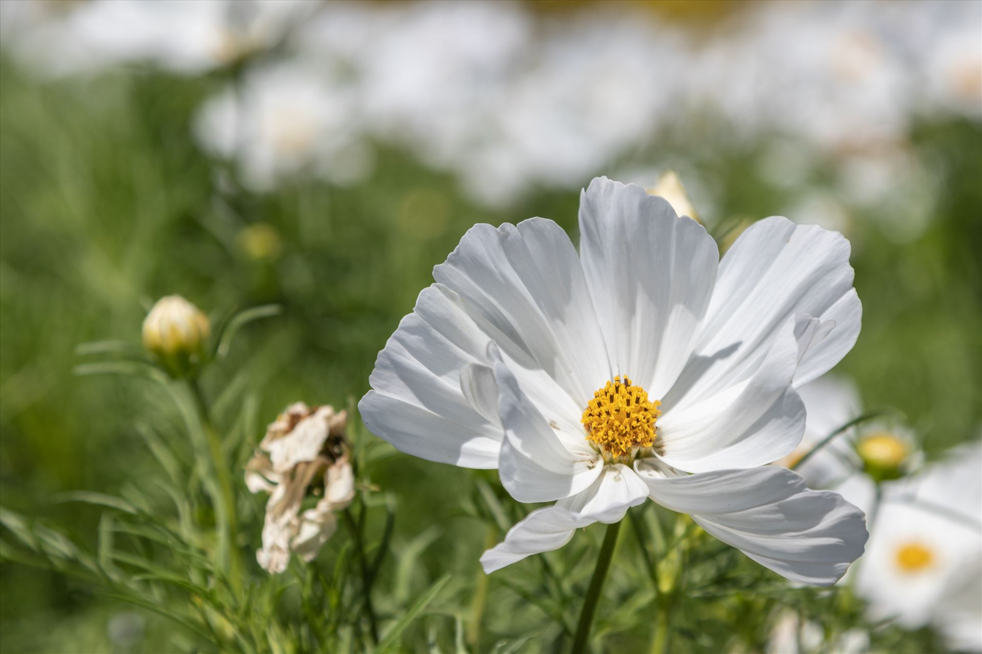 Mexican Aster -White Cosmos Bipinnatus White Cosmos Bipinnatus, also known as Mexican Aster or Garden Cosmos, in Summer in the UK. by Andy Morton Photography