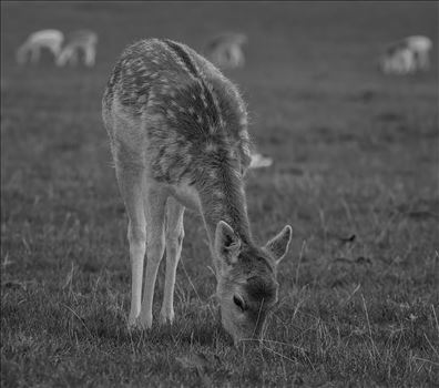 Fallow Deer - Dama Dama (Black & White) by Andy Morton Photography