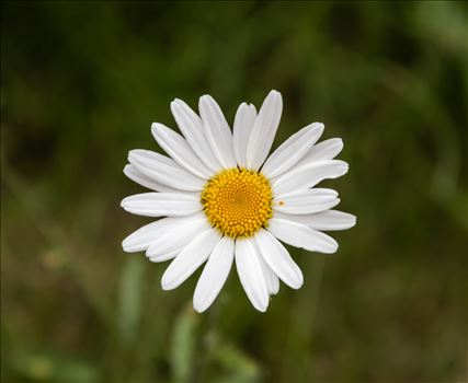 Common Daisy - (Bellis Perennis) by Andy Morton Photography