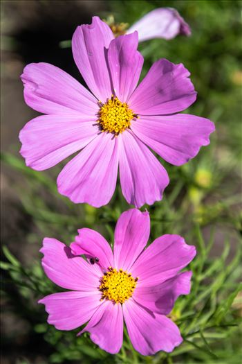 Pink Garden Cosmos Plant by Andy Morton Photography