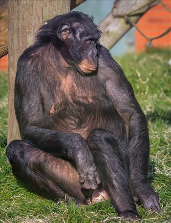 Bonobo Chimpanzee - Pan Paniscus by Andy Morton Photography