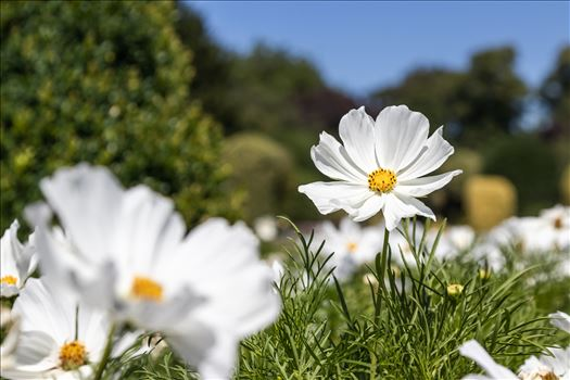 Mexican Aster -White Cosmos Bipinnatus by Andy Morton Photography