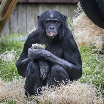 Bonobo Chimpanzee by Andy Morton Photography