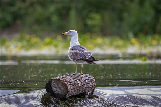 Lesser Black-Backed Gull (Larus Fuscus) by Andy Morton Photography