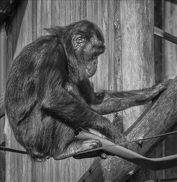 Young Bonobo Chimpanzee (Black & White) by Andy Morton Photography