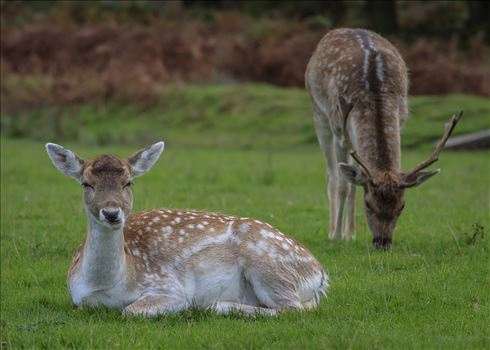 Pair of Fallow Deer - Dama Dama by Andy Morton Photography