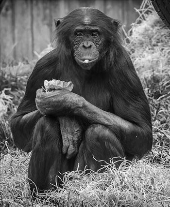 Bonobo Chimpanzee  (Black & White) by Andy Morton Photography