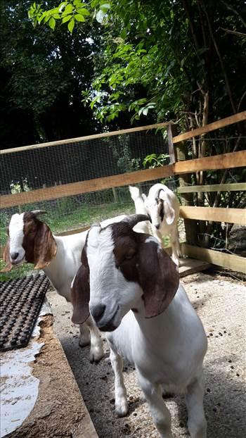 Goats 22 June 2 2018 .jpg -