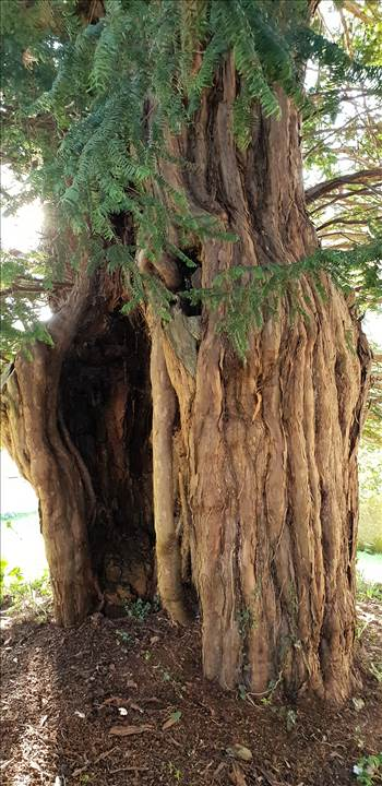 Amberley Yew Tree St Martins 23 Feb 19 .jpg by Mo