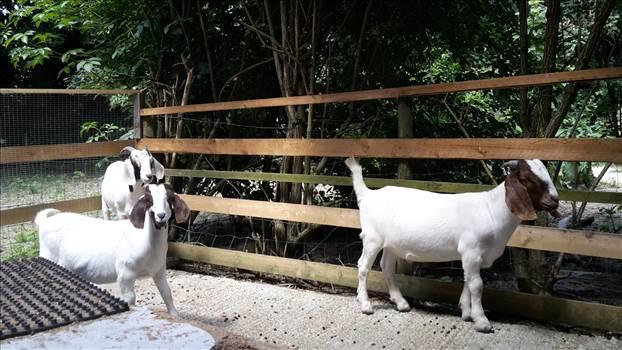 Goats 22 June 2018.jpg -