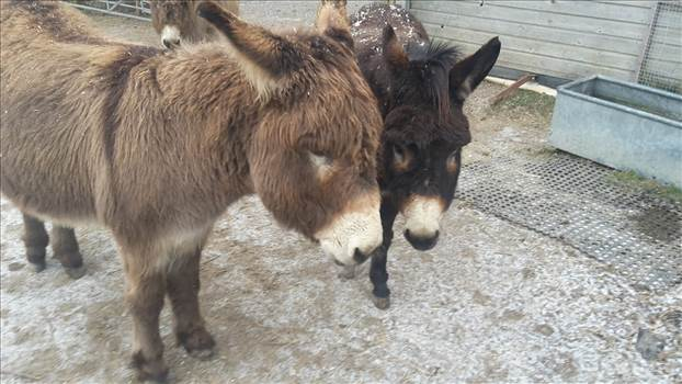 Donkeys 3 winter 2017 or 2018.jpg -
