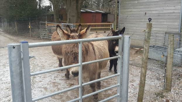 Donkeys Winter 2017 or 2018.jpg -
