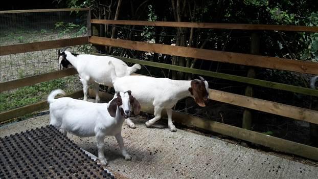 Goats 22 June 3 2018 .jpg -