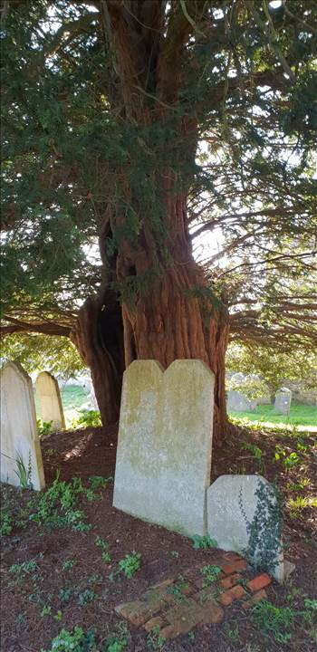Amberley Yew Tree St Martins 23 Feb 2019.jpg by Mo