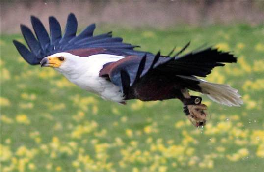 African Fish Eagle.jpg by 10206463230800809