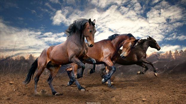 عکس-پس-زمینه-کیفیت-فول-اچ-دی-Full-HD-بدن-و-هیبت-پر-قدرت-اسب-های-وحشی-در-طبیعت.jpg by mohsen dehbashi