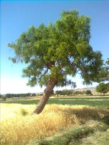 درخت اناب by mohsen dehbashi